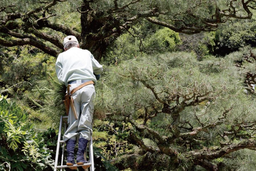 脚立の上で剪定作業をする職人