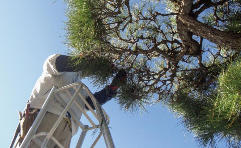 脚立の上で松の木を剪定する職人